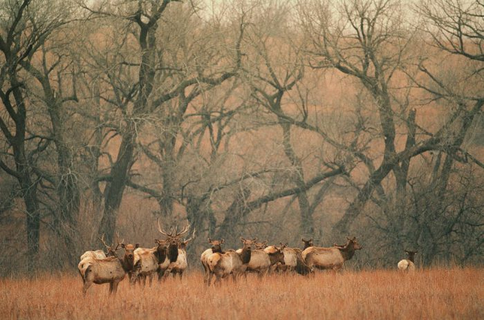 Photo: Elk in the Maxwell Wildlife Refuge near Canton, KS.