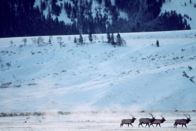 Photo: Elk at the National Elk Refuge near Jackson Hole, WY.