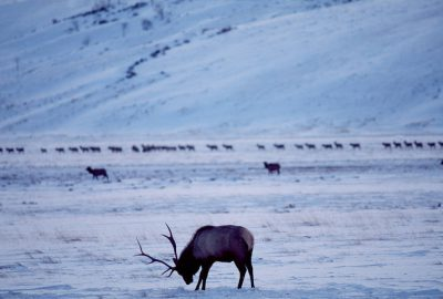 Photo: Elk at the National Elk Refuge near Jackson Hole, WY.