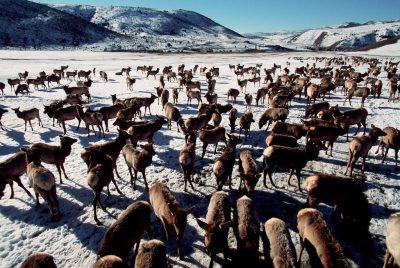 Photo: Elk winter near Logan, Utah.