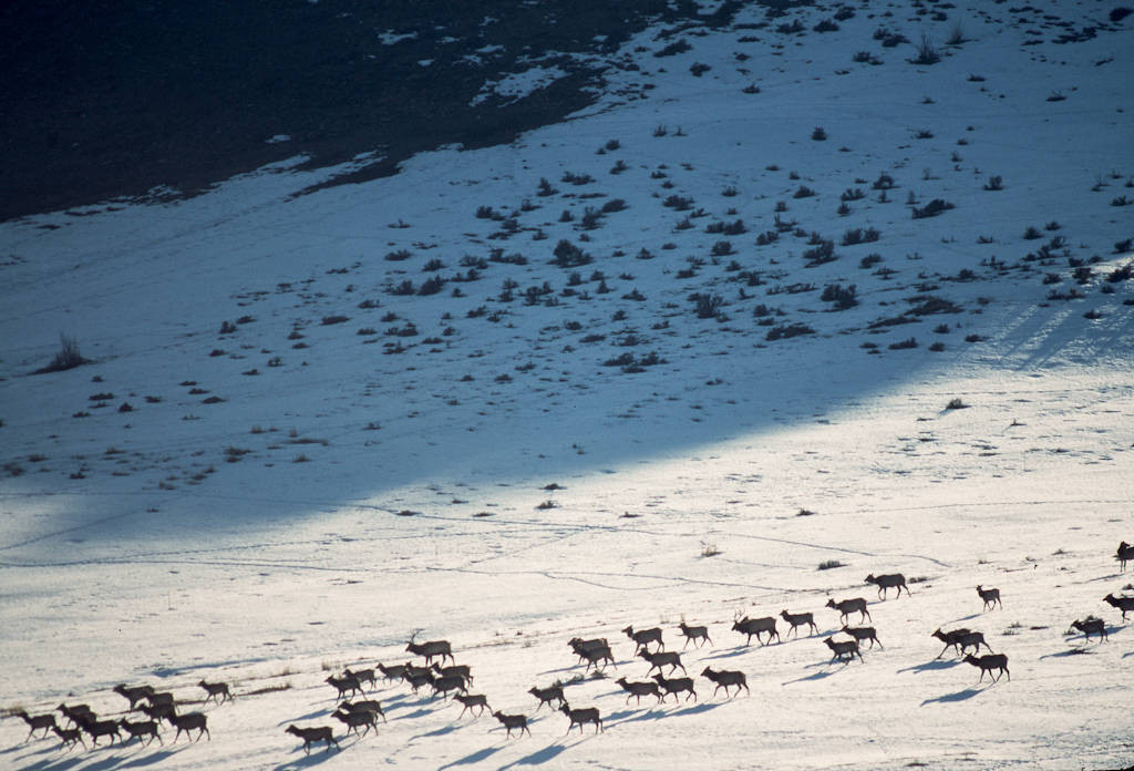 Photo: Elk winter near Logan, Utah.