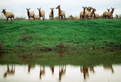 Photo: Endangered Tule elk at San Luis NWR near Los Banos, CA.