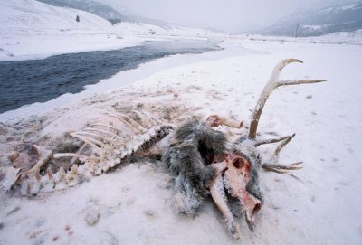 Photo: The remains of an elk killed by wild gray wolves in Yellowstone National Park.