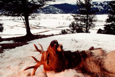 Photo: The remains of an elk killed by wild gray wolves in Yellowstone National Park's Lamar Valley.