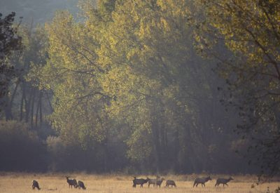 Photo: Elk at the Charles M. Russell NWR in Montana.