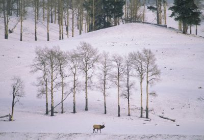 Photo: Elk in winter in Yellowstone National Park's Lamar Valley.