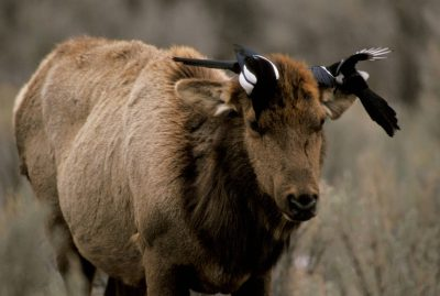 Photo: Magpies search an elk's head for ticks in Yellowstone National Park.