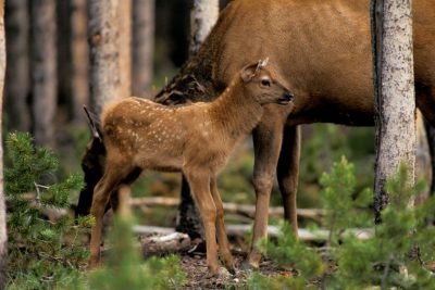 Photo: Elk calf and its mother in Yellowstone National Park.