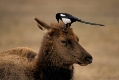 Photo: A magpie searches an elk's head for ticks in Yellowstone National Park.