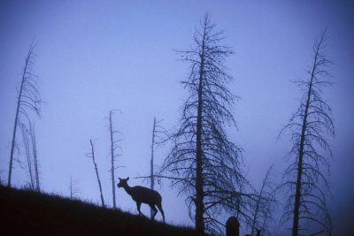 Photo: Elk silhouetted against a ridge in Yellowstone National Park's Hayden Valley.