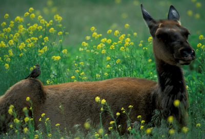 Photo: Elk in Yellowstone National Park.