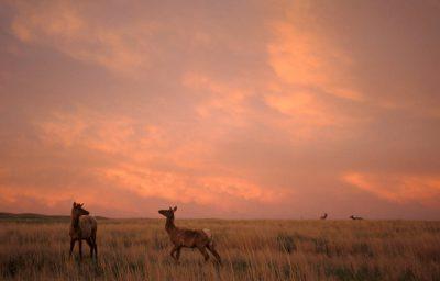 Photo: Elk near Valentine, NE.