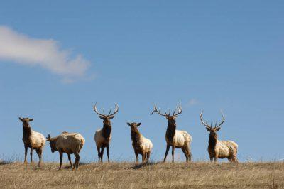 Photo: Penned elk in Comstock, Nebraska.