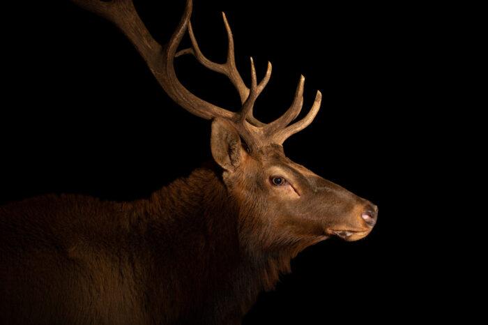 Photo: A tule elk (Cervus canadensis nannodes) at Tierpark Berlin.