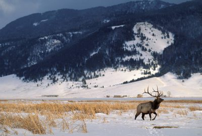Photo: An elk at the National Elk Refuge near Jackson Hole, WY.