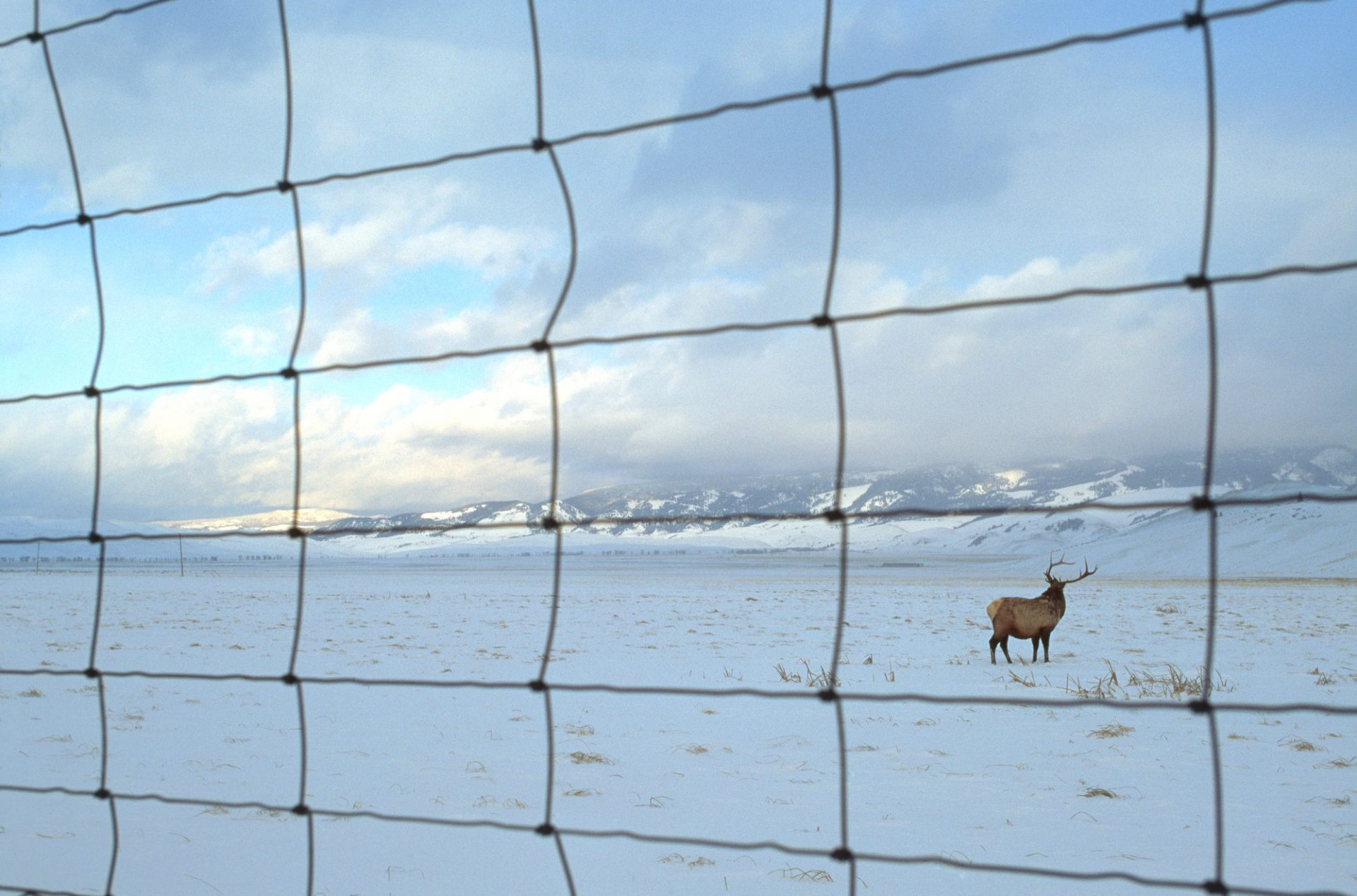 A wire fence keeps elk (Cervus canadensis) on Elk National refuge land and from roaming into the town of Jackson, Wyoming.