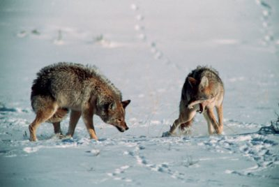 Photo: Coyotes in Yellowstone's Lamar Valley.