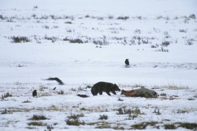 Photo: A gray wolf in the wild in Yellowstone's Lamar Valley.