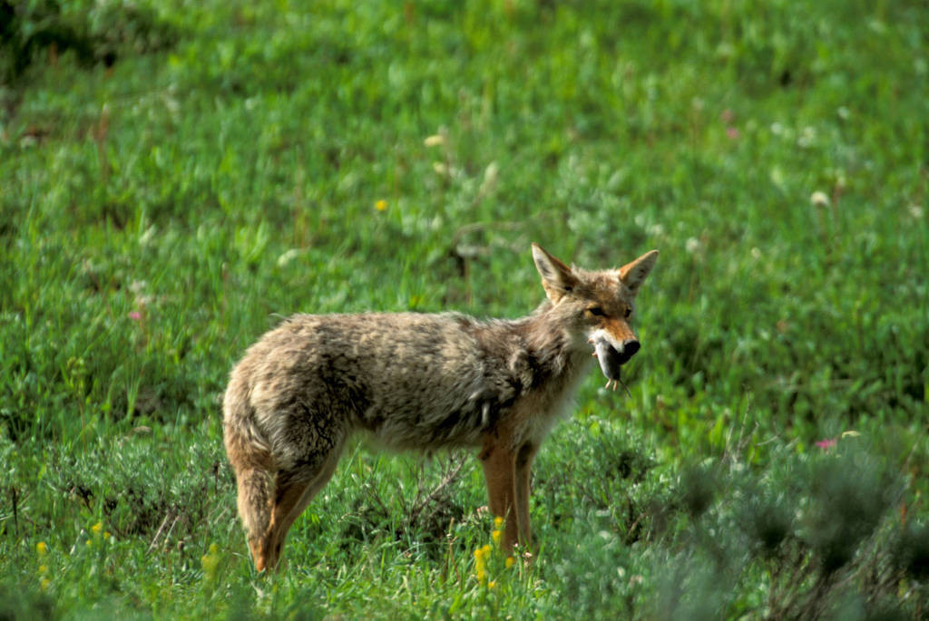 Photo: Coyote, after catching a mouse in Yellowstone's Lamar Valley.