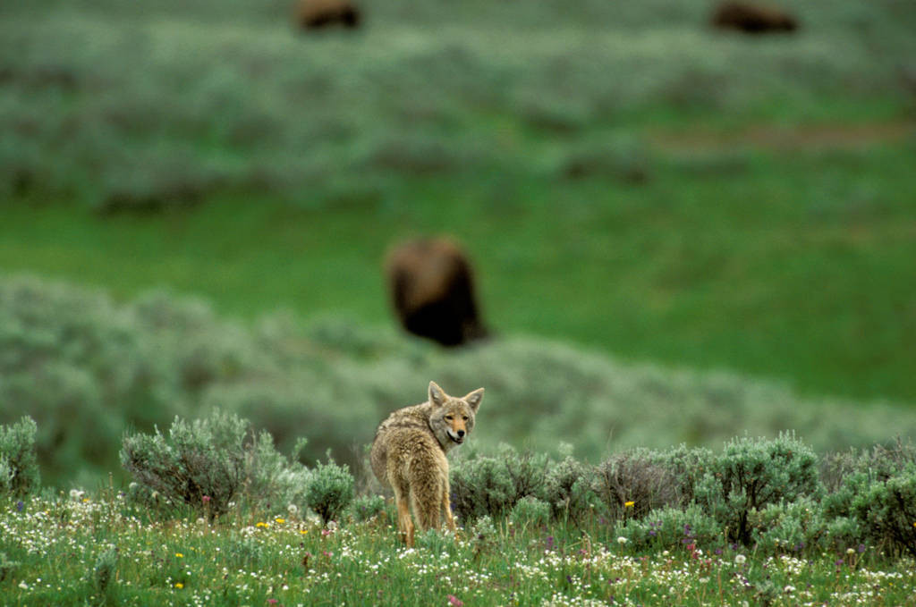 Photo: Coyote in Yellowstone's Lamar Valley.