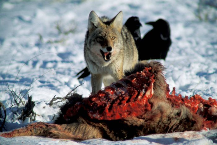 Photo: Coyote over a carcass in Yellowstone's Lamar Valley.