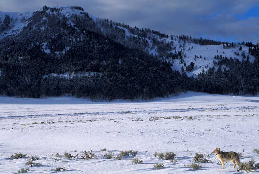 Photo: Coyote in Yellowstone National Park's Lamar Valley.