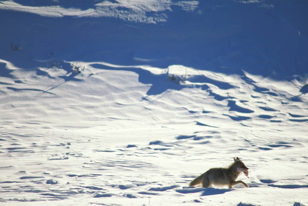 Photo: A coyote in Yellowstone National Park's Lamar Valley carries off its prey.
