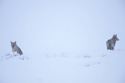 Photo: Coyotes in Yellowstone National Park's Lamar Valley.