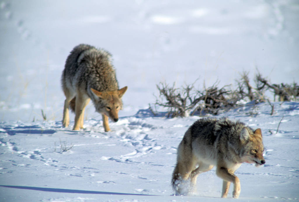 Photo: Two coyotes fight for dominance in Yellowstone National Park's Lamar Valley.