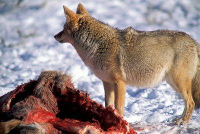 Photo: A coyote feeds on a carcass in Yellowstone's Lamar Valley.