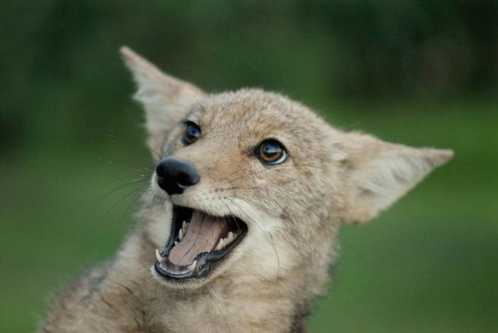 Photo: A hand-raised coyote at a wildlife rescue member's home in Eastern Nebraska.