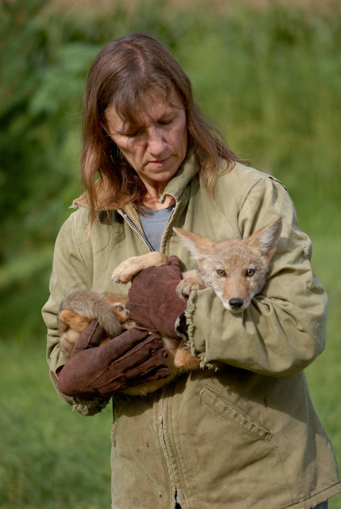 Photo: A wildlife rescue member holds her hand-raised coyote at her home in Nebraska.