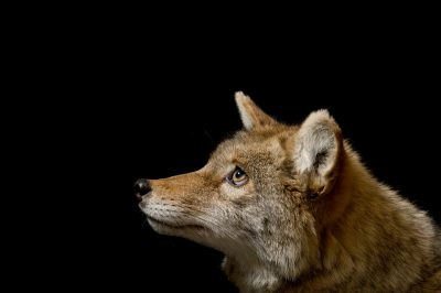 A coyote (Canis latrans) at the Great Plains Zoo.