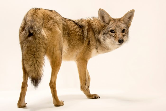 Photo: Mearn's coyote (Canis latrans mearnsi) named 'Sangria' at Southwest Wildlife Conservation Center.