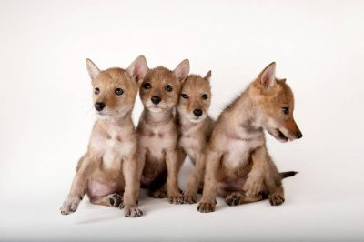 Coyote puppies (Canis latrans).