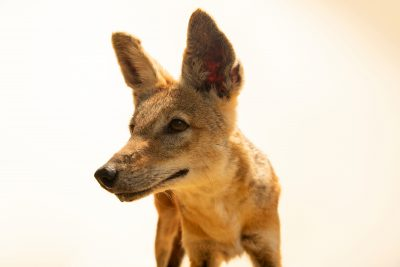 Photo: Black-backed jackal (Canis mesomelas mesomelas) at Night Safari, part of Wildlife Reserves Singapore.