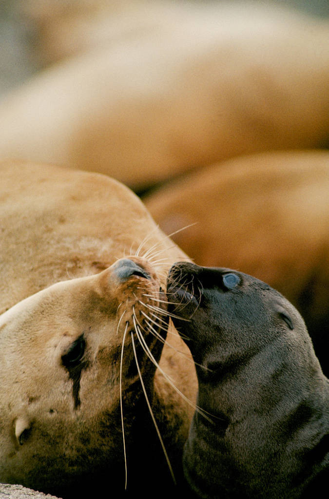 Photo: Steller sea lions at a haul-out near Ketchikan, Alaska.