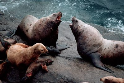 Photo: Two male Steller sea lions (endangered) battle for dominance at a haul-out near Ketchikan, Alaska.