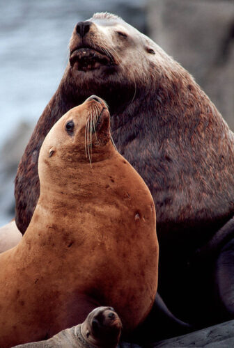 Photo: Male and female Steller sea lions (endangered) at a haul-out near Ketchikan, Alaska.
