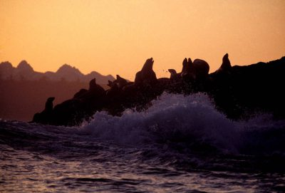 Photo: Steller sea lions gather on the rocky shore of Clayoquot Sound, Vancouver Island (British Columbia, Canada.)