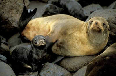 Photo: Northern fur seal and pup at a rookery on St. George Island in the Pribilofs (Alaska.) The species is listed as vulnerable on the IUCN Red List.