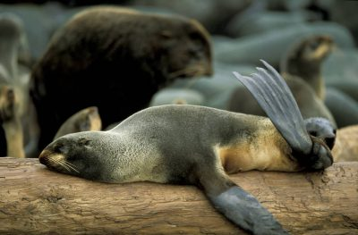 Photo: Northern fur seal sunning itself at a rookery on St. George Island in the Pribilofs (Alaska.) The species is listed as vulnerable on the IUCN Red List.