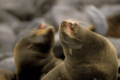 Photo: Northern fur seals at a rookery on St. George Island in the Pribilofs (Alaska.) The species is listed as vulnerable on the IUCN Red List.