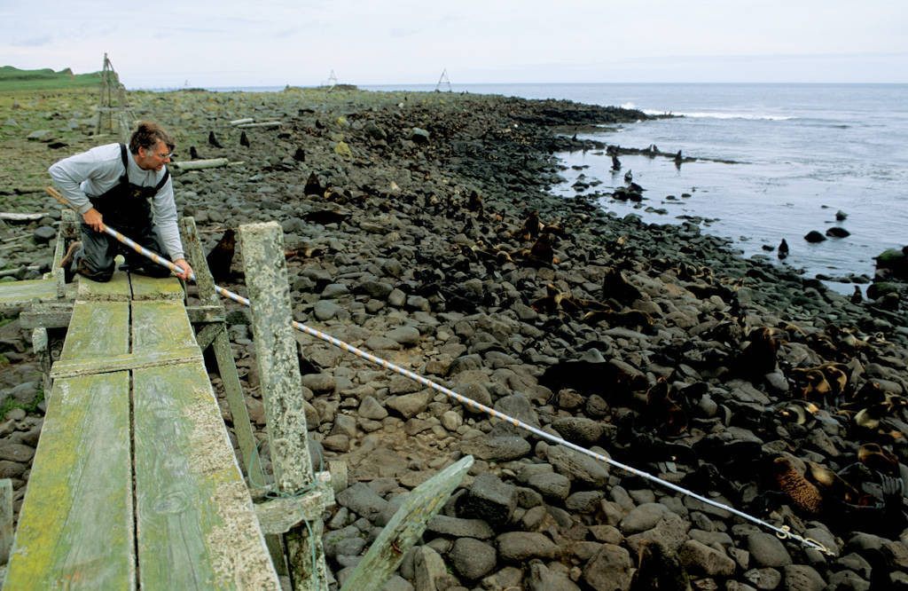 Photo: Biologist Terry Spraker reaches into a Northern fur seal rookery with a pole to retrieve a dead pup for necropsy on St.George Island in Alaska's Pribilof Islands.