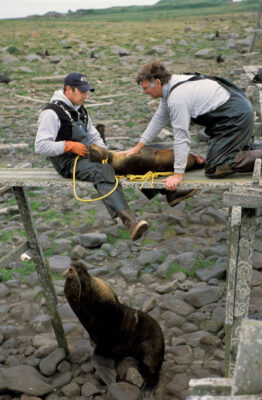 Photo: Biologist Terry Spraker and his assistant Brian deLong examine a female Northern fur seal killed by two males in a rookery on St. George Island in Alaska's Pribilof Islands.