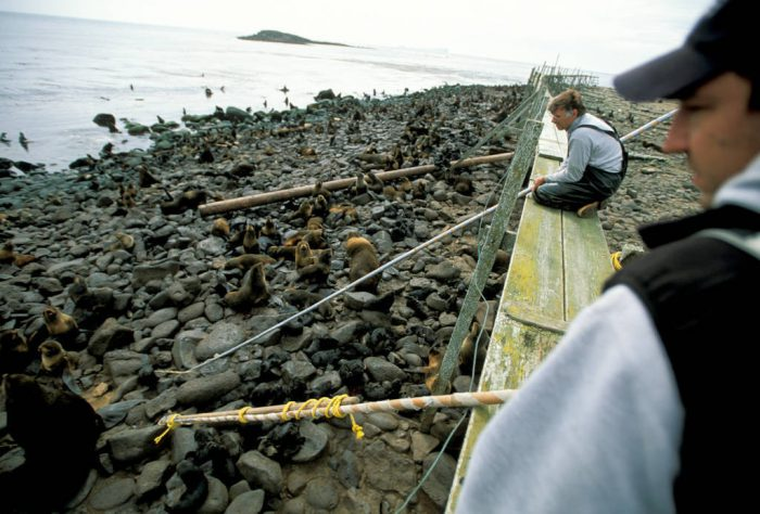 Photo: Biologist Terry Spraker (background) and his assistant Brian deLong reach into a Northern fur seal rookery with a pole to retrieve a dead pup for necropsy on St. George Island in Alaska's Pribilof Islands.