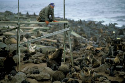 Photo: Biologist Terry Spraker looks out over a Northern fur sealrookery on St. George Island in Alaska's Pribilof Islands.