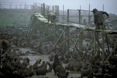 Photo: Biologist Brian deLong reaches into a Northern fur seal rookery with a pole to retrieve a dead pup for necropsy on St. George Island in Alaska's Pribilof Islands.
