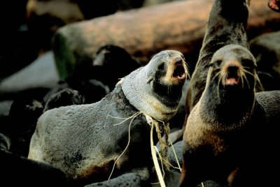 Photo: A female Northern fur seal at a rookery on St. George Island in Alaska's Pribilof Islands.