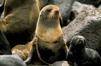 Photo: A female Northern fur seal and her pup at a rookery on St. George Island in Alaska's Pribilof Islands.